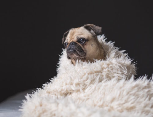Puff Jacket or Fur Coat? Keeping your Dog Warm During the Winter